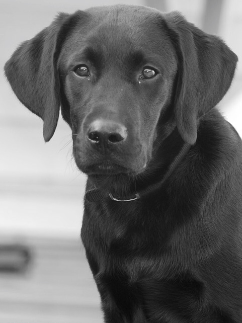 Louise Shaw Black Lab Photo 2017
